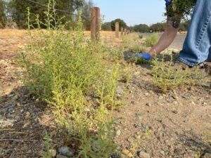 stinkwort weed growing along roadway, person pulling plant