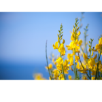close up of yellow Spanish Broom flowers, blue sky in background